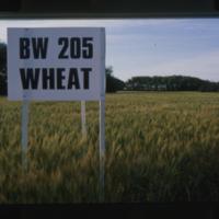 BW 205 Wheat