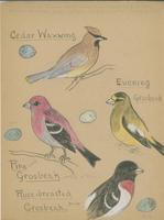 Cedar Waxwing, Evening Grosbeak, Pine Grosbeak, Rose-breasted Grosbeak