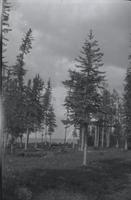 [Stand of pines along a lake]